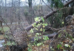 The root ball of a several trees that were uprooted during the storm