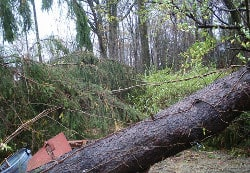 Image showing a shed flattened by a large pine tree