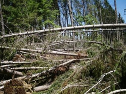 Piles of uprooted trees litter a previously forested area.