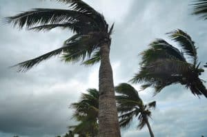 Palm trees blown by hurricane wind
