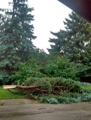 Snapped off Spruce Tree